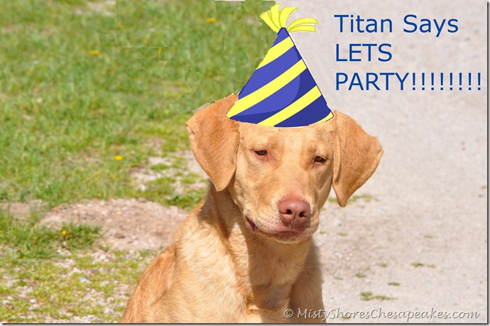 Chesapeake Bay Retriever ~ Titan's  first birthday