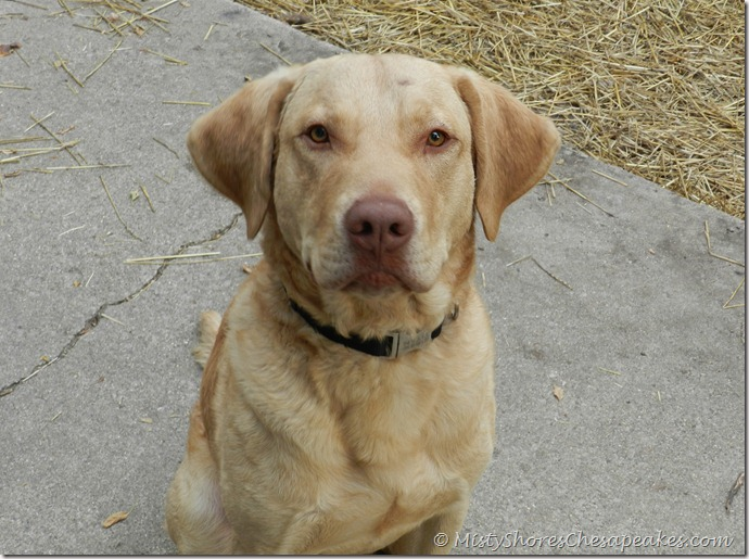 Chesapeake Bay Retriever~Titan (4)