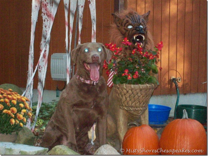 Chesapeake Bay Retriever~Cheyenne