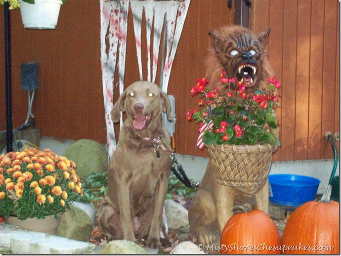 Chesapeake Bay Retriever~Riva
