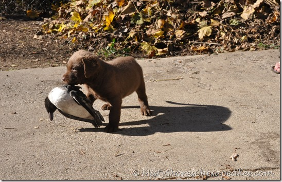 Chesapeake Bay Retriever Puppies ~ Misty Shores Chesapeakes (2)