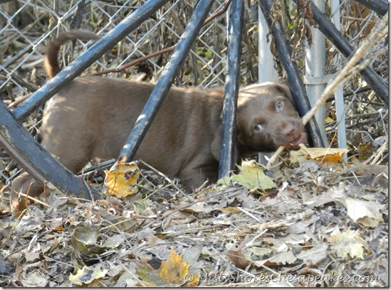 Chesapeake Bay Retriever Puppies ~ Misty Shores Chesapeakes