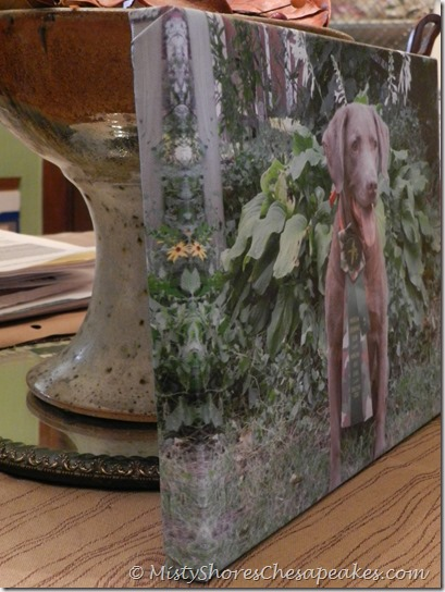 Chesapeke Bay Retriever ~ Cheyenne Canvas Print (9)