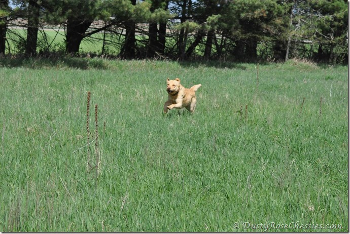 Chesapeake Bay Retriever ~ Misty Shores Titan 7